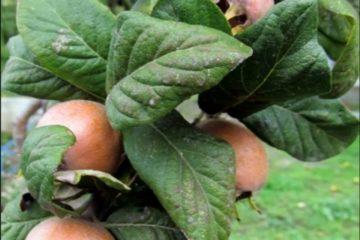 Meyve Fidanı Çeşitleri